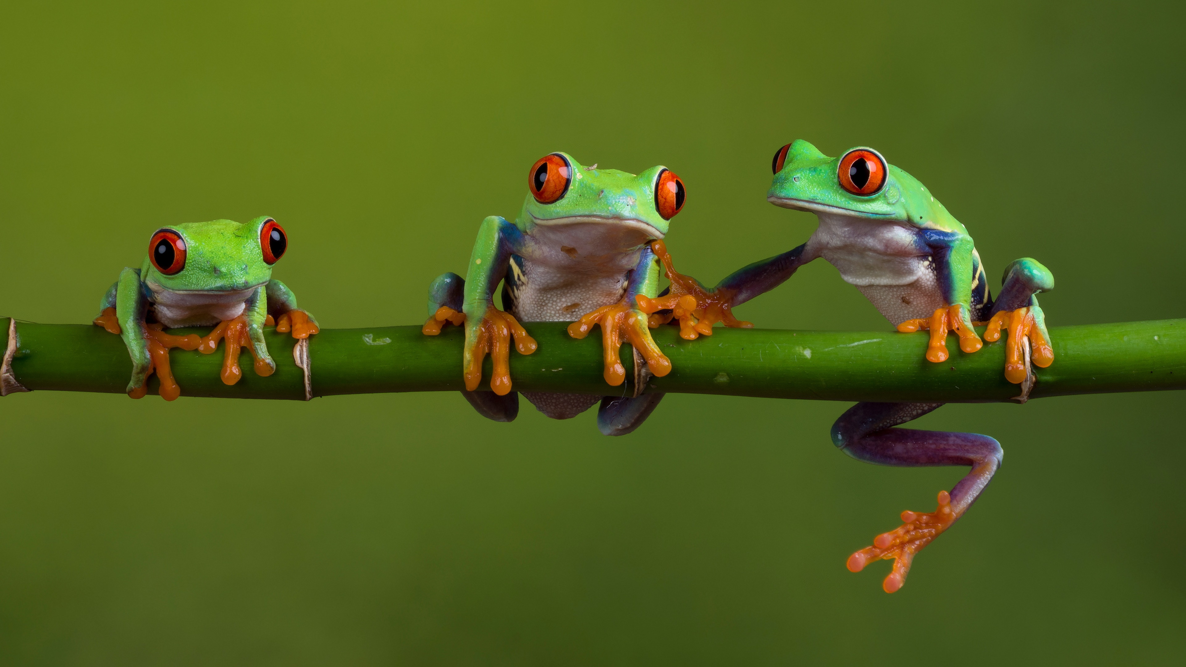 Three Red Eyed Tree Frogs 4k Ultra Hd Wallpaper Hintergrund 3840x2160