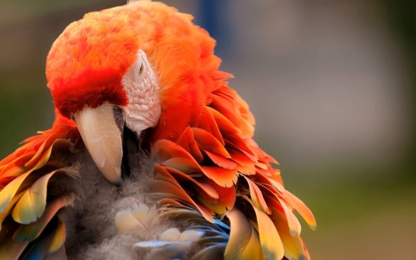 Animal Scarlet Macaw Birds Parrots Bird Parrot HD Wallpaper   Background Image