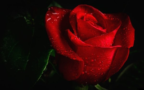 Earth Rose Flowers HD Wallpaper   Background Image