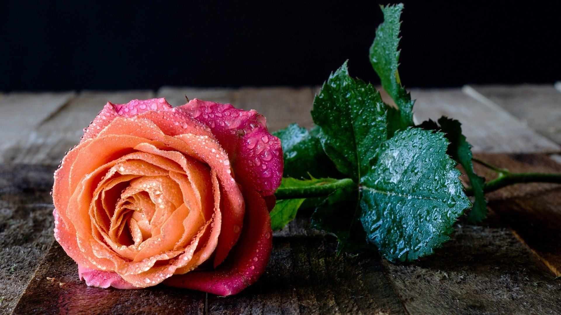Rose with Water Drops HD Wallpaper | Background Image | 1920x1080
