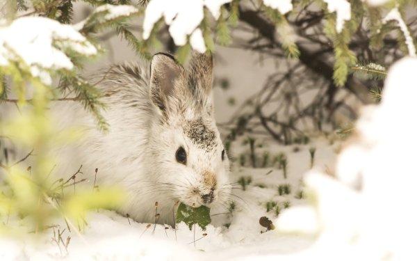 Animal Rabbit HD Wallpaper | Background Image