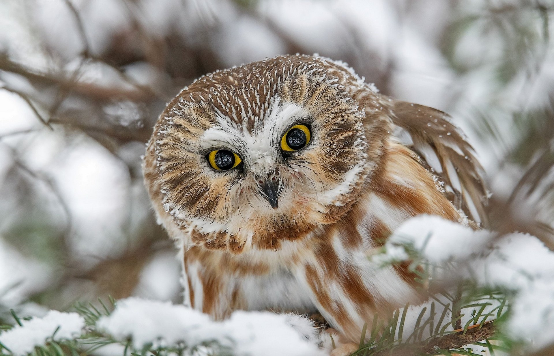 Great grey owl HD Wallpaper | Background Image | 1920x1233 ...