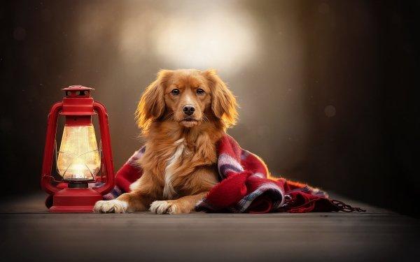 Animal Nova Scotia Duck Tolling Retriever Dogs Dog Lantern Depth Of Field Pet HD Wallpaper   Background Image