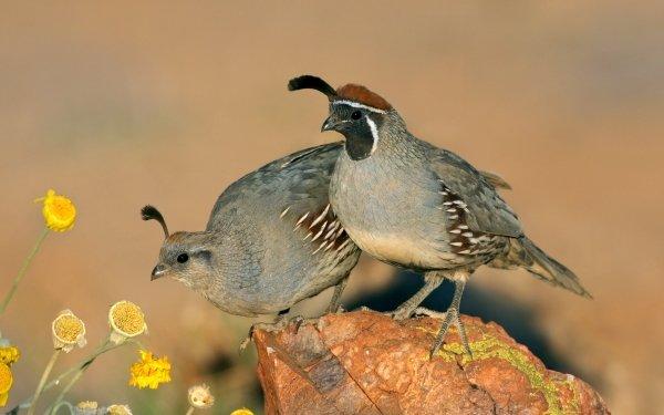 Animal Quail Birds Galliformes HD Wallpaper | Background Image