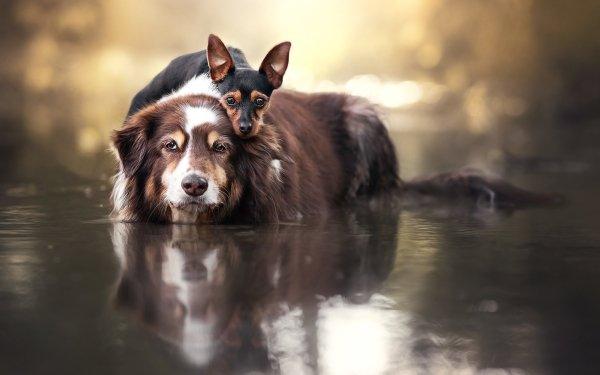 Animal Dog Dogs Water Border Collie Miniature Pinscher HD Wallpaper   Background Image
