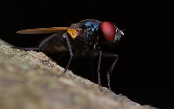 Animal Fly Insect Macro HD Wallpaper | Background Image
