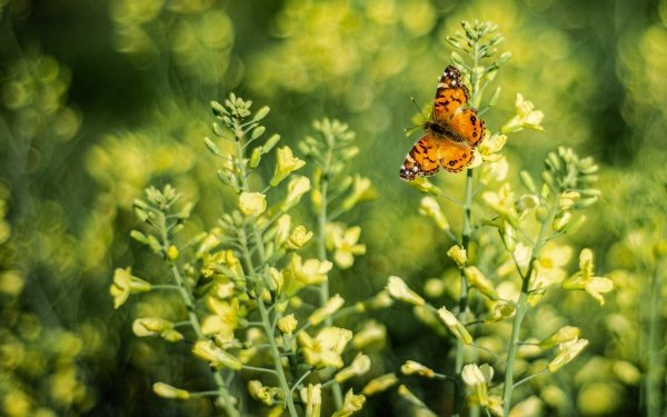 Animal Butterfly Flower Rapeseed HD Wallpaper   Background Image