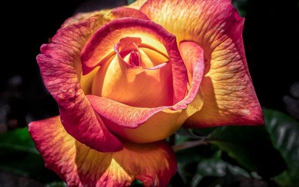 Earth Rose Flowers Macro Flower HD Wallpaper | Background Image