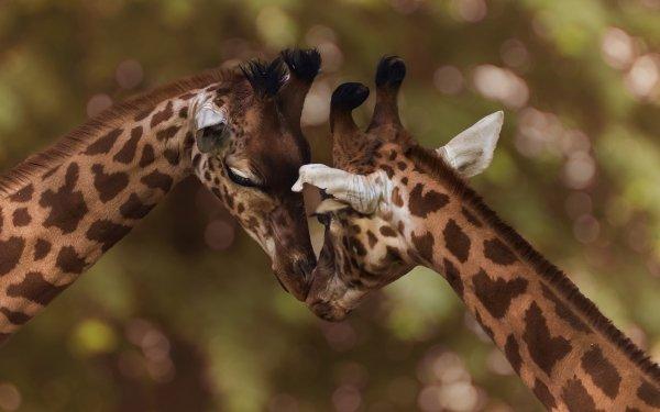 Fantaisie Giraffe Wildlife Fond d'écran HD | Arrière-Plan