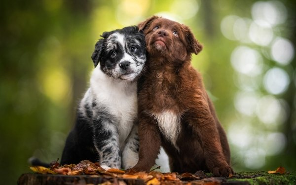 Animal Puppy Dogs Dog Border Collie Pet HD Wallpaper   Background Image