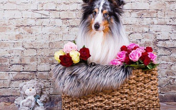 Animal Shetland Sheepdog Dogs Dog Pet Stuffed Animal HD Wallpaper   Background Image