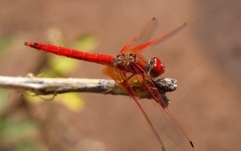 Animal - Dragonfly Wallpapers and Backgrounds ID : 284687