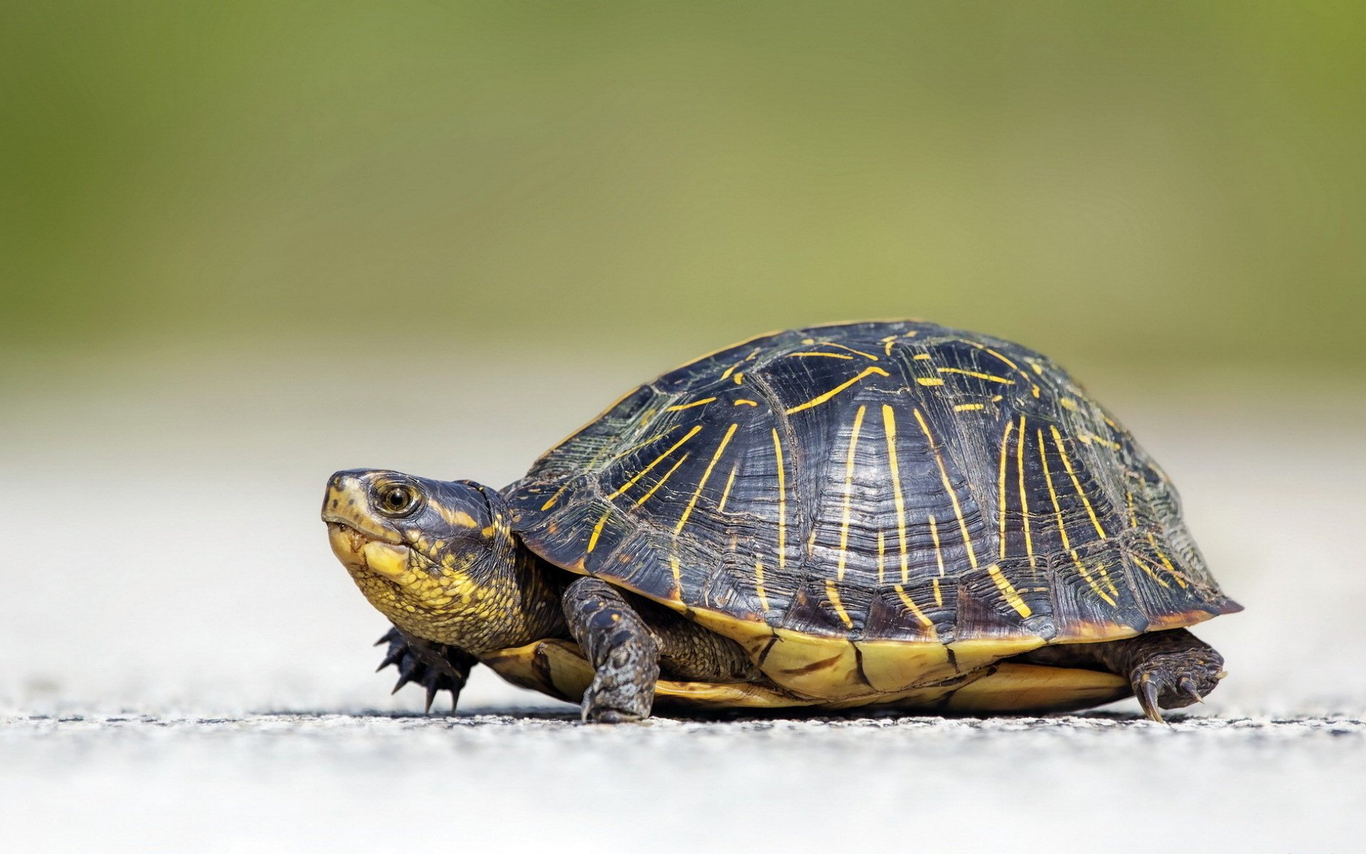 Funny 3d Animal Turtle Wallpapers Hd: Turtle Full HD Wallpaper And Background Image