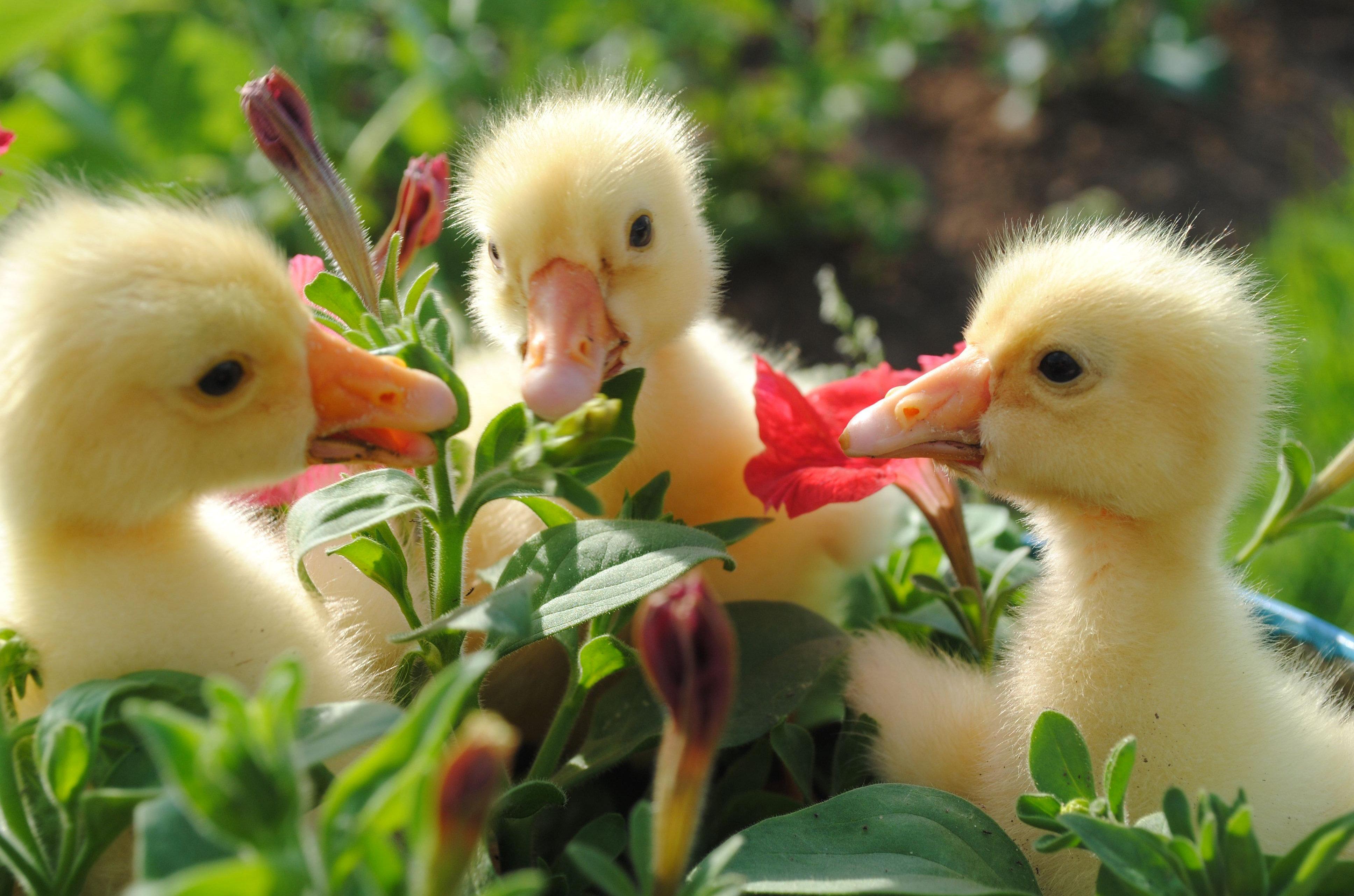 Animal - Duck - Ducks Wallpaper