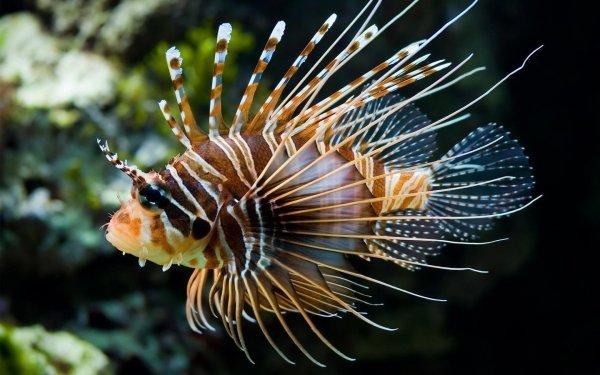 Animal Lionfish Fishes Fish Marine Fish Underwater HD Wallpaper | Background Image