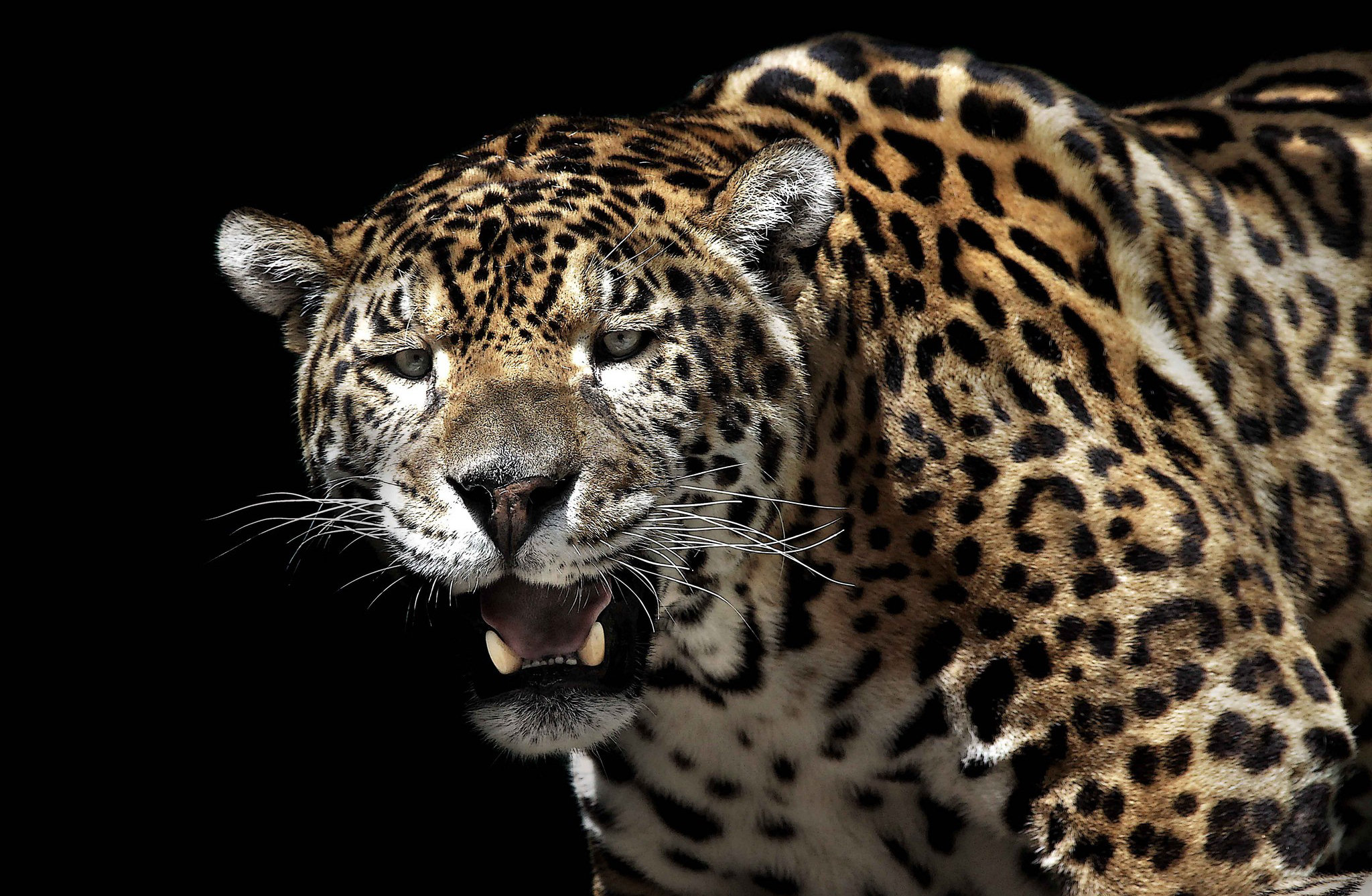 jaguar full hd wallpaper and background 2048x1338 id