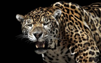 Animal - Jaguar Wallpapers and Backgrounds ID : 290207
