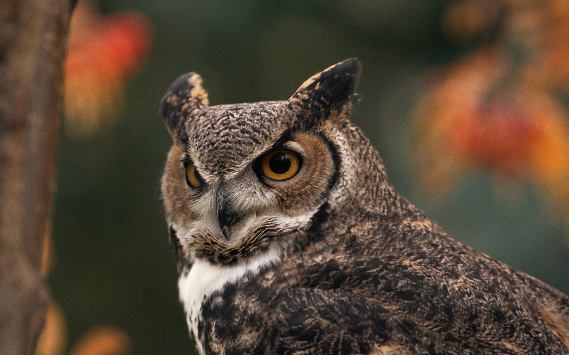 great horned owl full hd wallpaper and background image