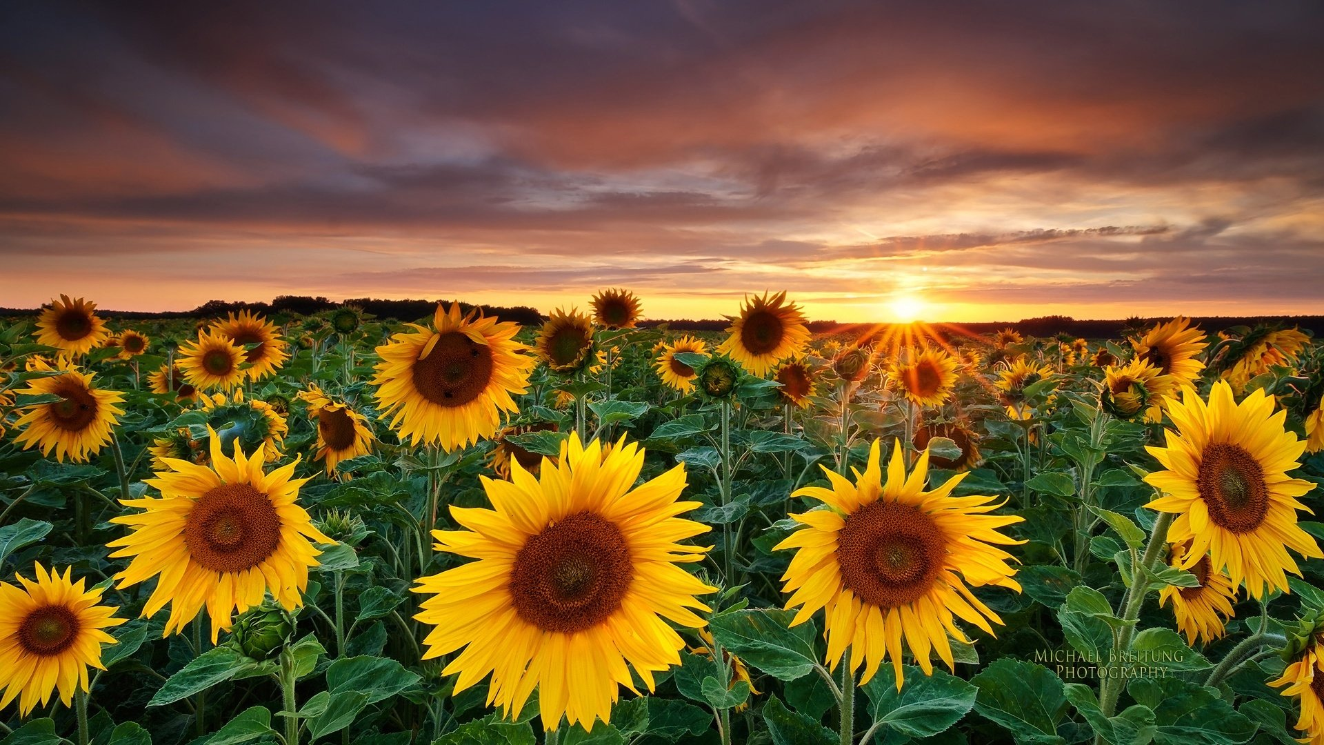 446 sunflower hd wallpapers | background images - wallpaper abyss