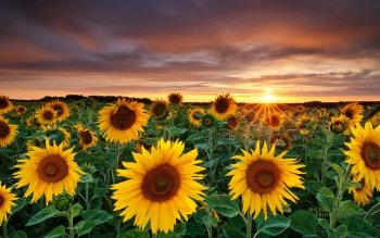 Earth - Sunflower Wallpapers and Backgrounds ID : 300227