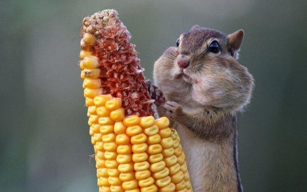 Animal Chipmunk Corn Funny HD Wallpaper | Background Image