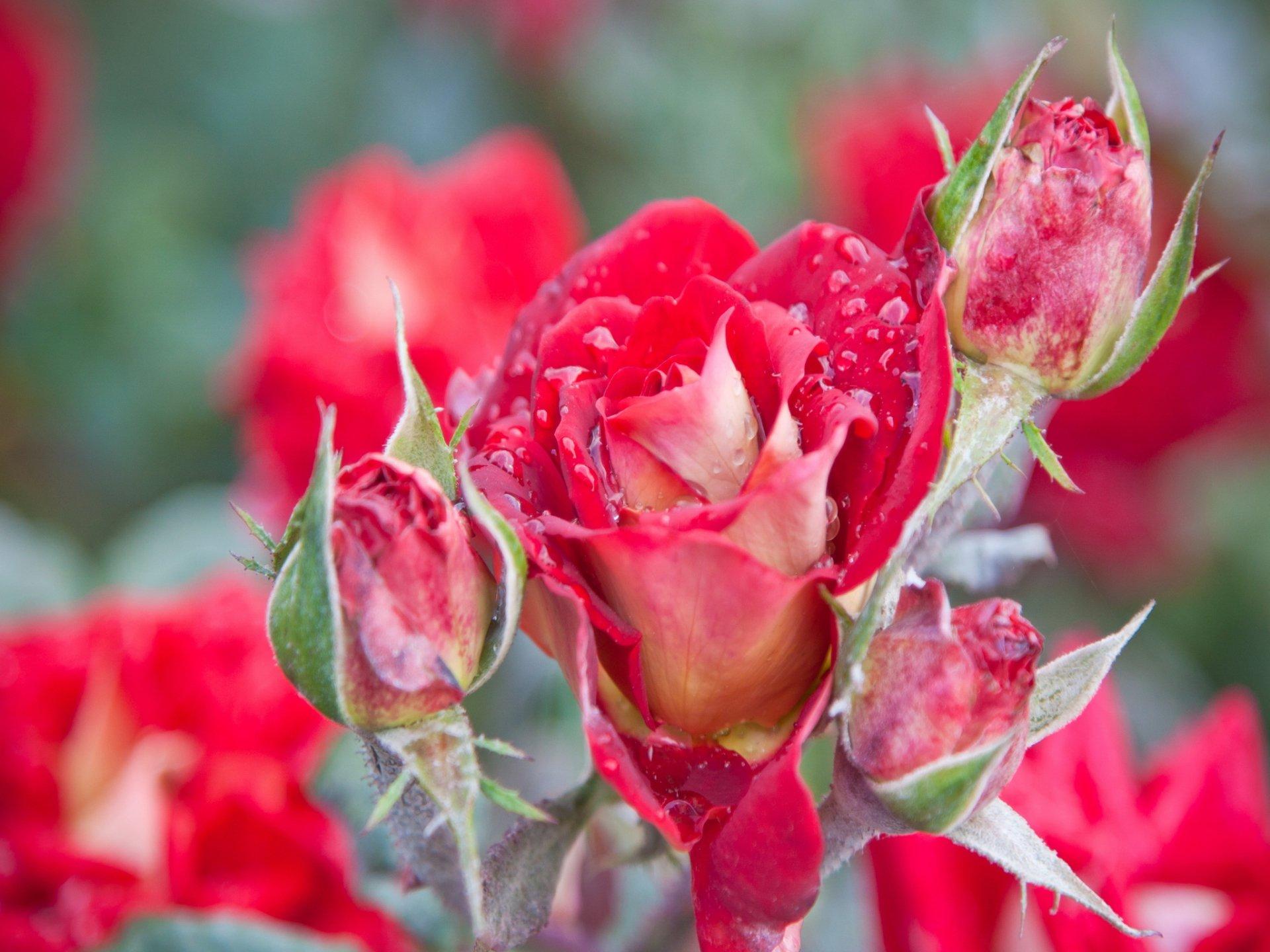 Rose full hd fond d 39 cran and arri re plan 2048x1536 id 302595 - Catalogue de fleurs gratuit ...