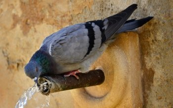 Animal - Pigeon Wallpapers and Backgrounds ID : 307082