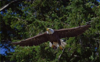 Animal - Eagle Wallpapers and Backgrounds ID : 308310