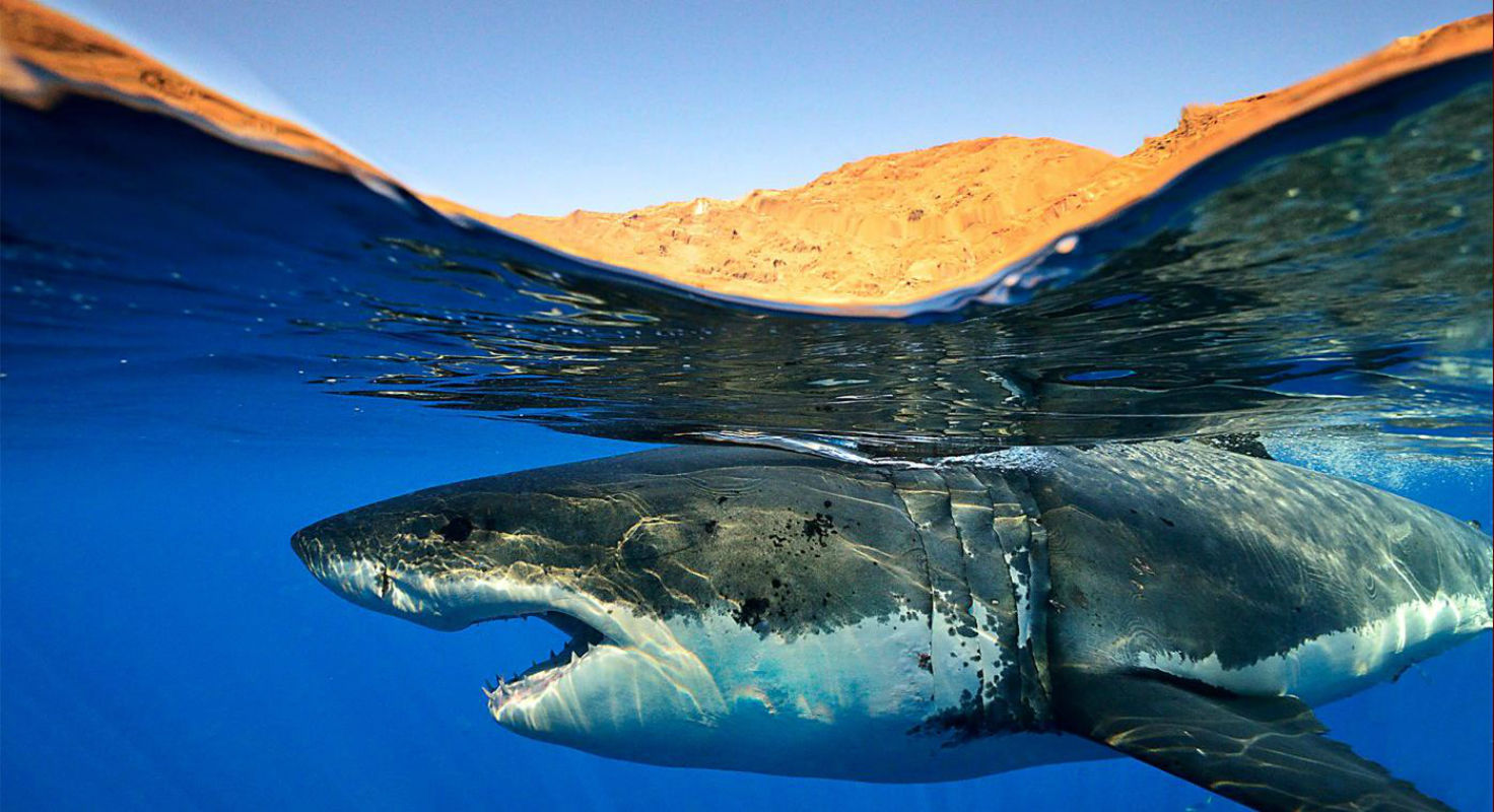 shark wallpaper and background image 1472x800 id 310158