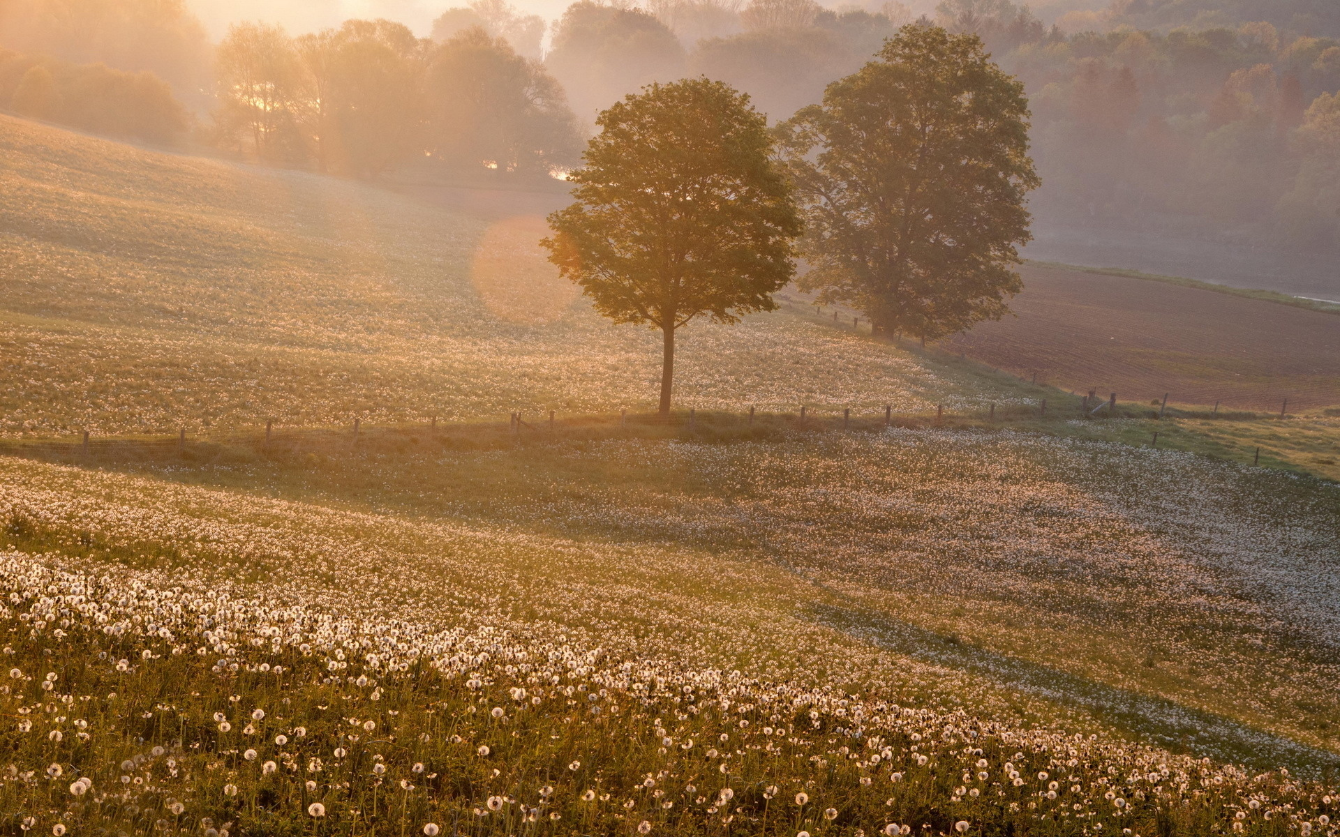 Earth - Landscape  - Scenic - Field - Flower - Flowers - Tree - Fog - Mist - Morning - Sunrise - Forest Wallpaper