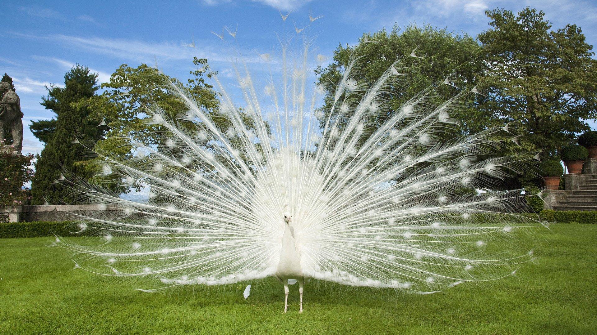 Animal - Peacock  Bird Wallpaper