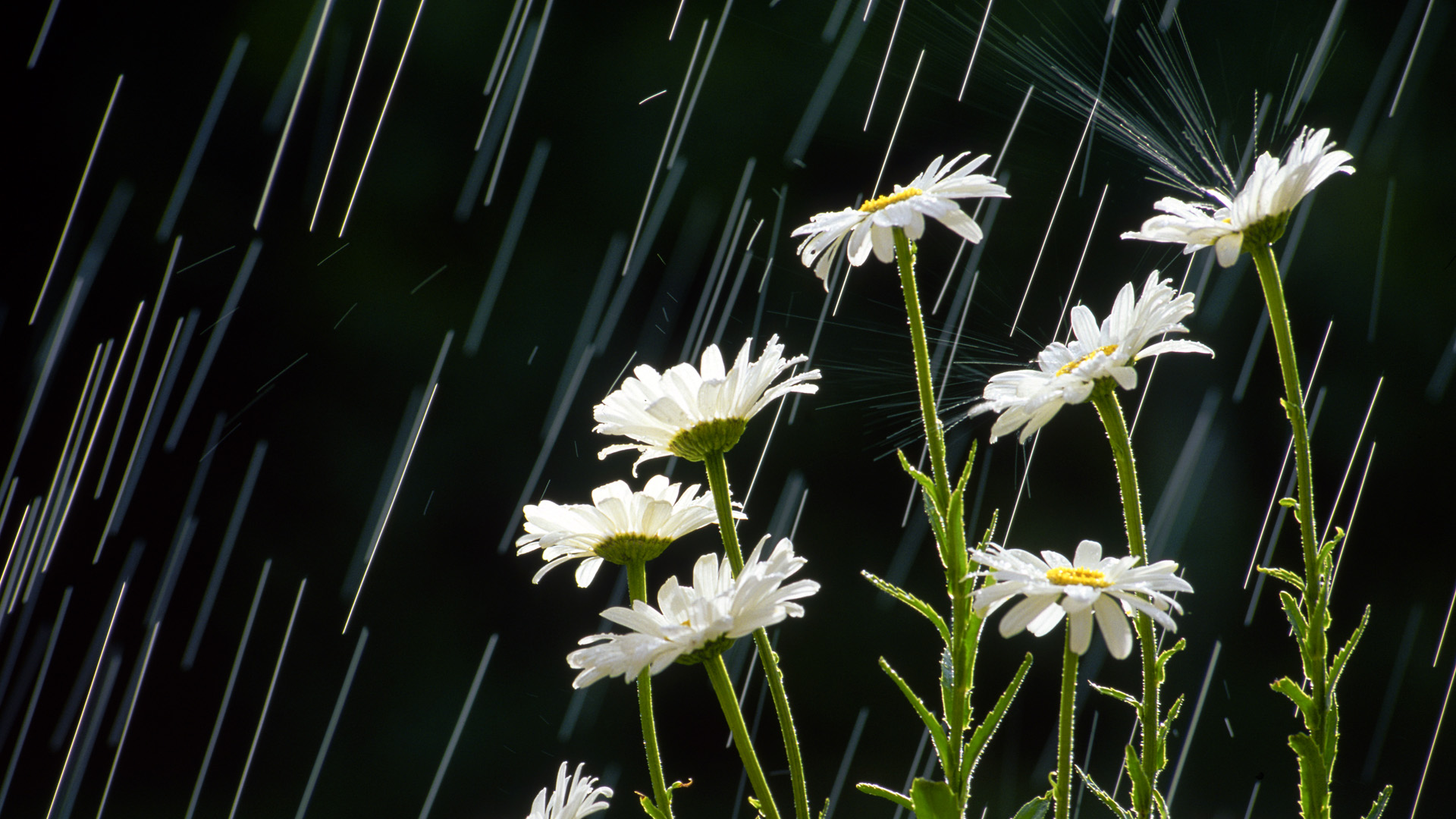 Rain full hd wallpaper and background image 1920x1080 id312336 photography rain flower nature wallpaper altavistaventures Image collections
