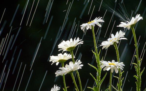 Photography Rain Flower Nature White Flower HD Wallpaper | Background Image