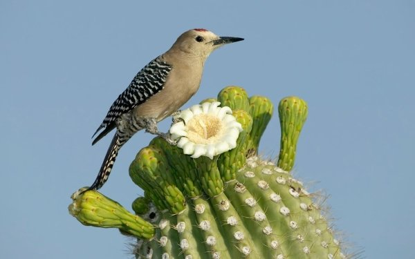 Animal Bird Birds Plant Flower Cactus Gila Woodpecker HD Wallpaper | Background Image