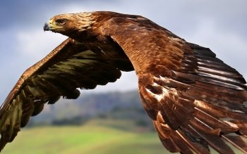 Animal - Eagle Wallpapers and Backgrounds ID : 313866