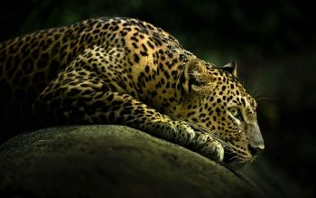Animal - Leopard Wallpapers and Backgrounds ID : 314898