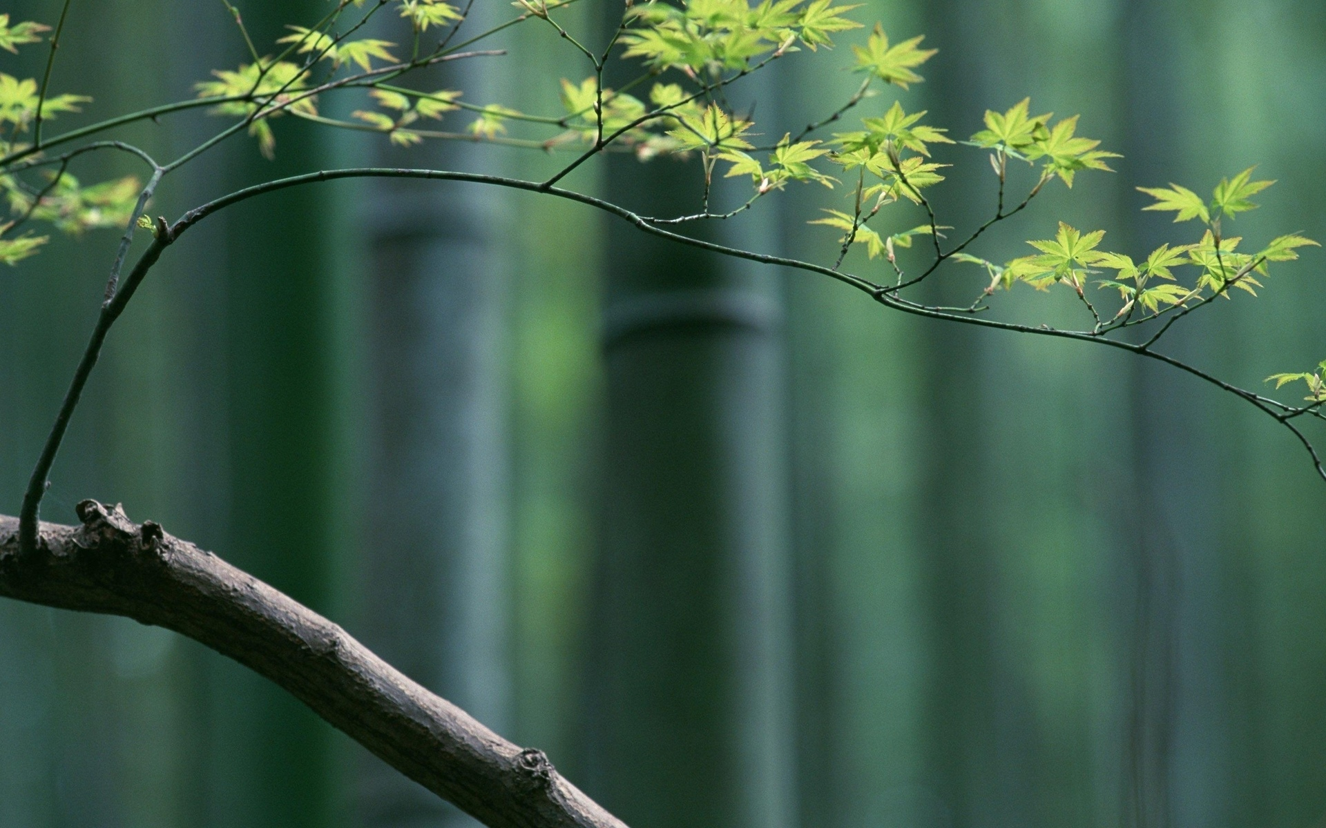 Bamboo Full HD Wallpaper And Background Image