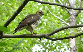 Dierenrijk - Hawk Wallpapers and Backgrounds ID : 315292