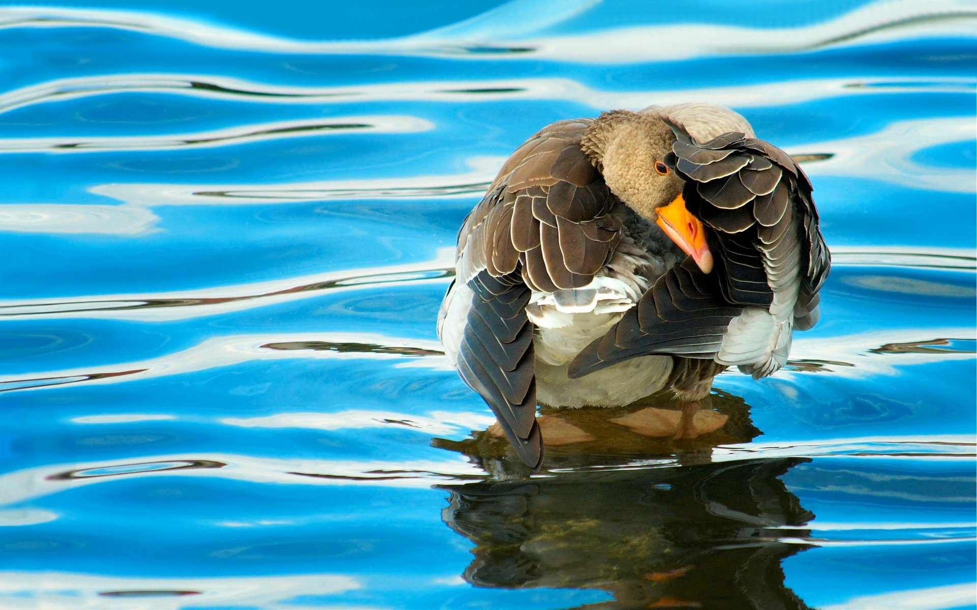 Animal - Duck  Goose Bird Wave Water Blue Reflection Wallpaper