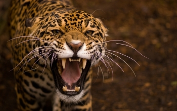 Animalia - Tigre Wallpapers and Backgrounds ID : 319034