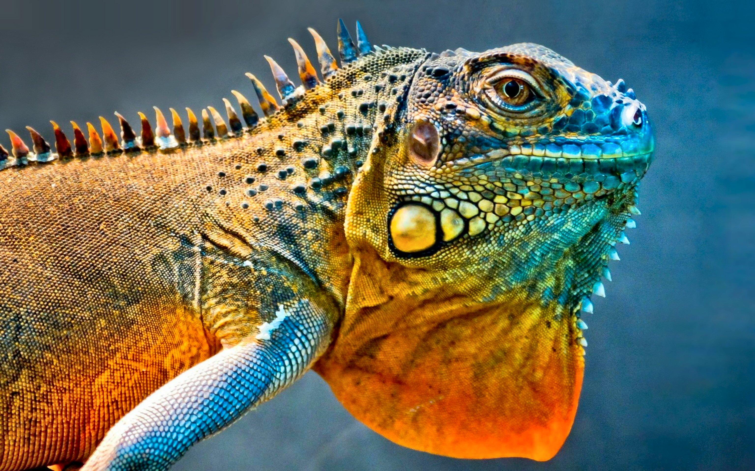 320 Lizard HD Wallpapers Backgrounds Wallpaper Abyss