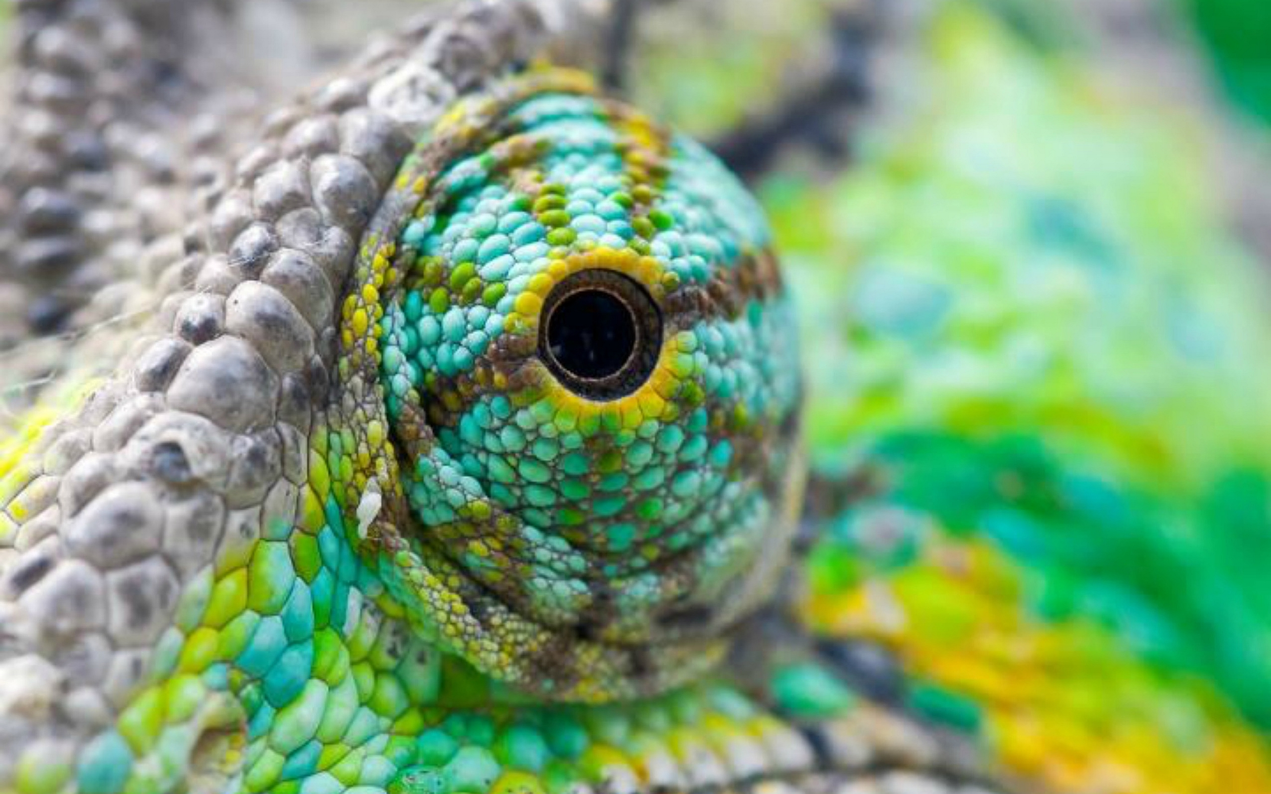 Chameleon Full HD Wallpaper and Background 2560x1600 ID321647