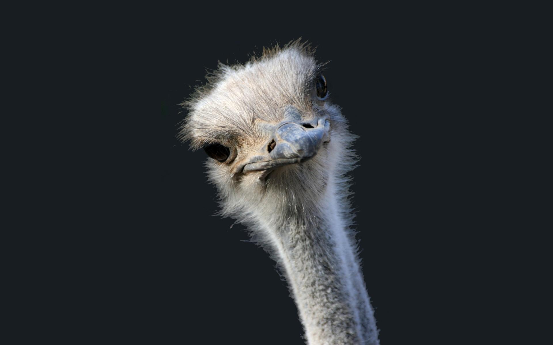 birds desert ostrich hd - photo #29