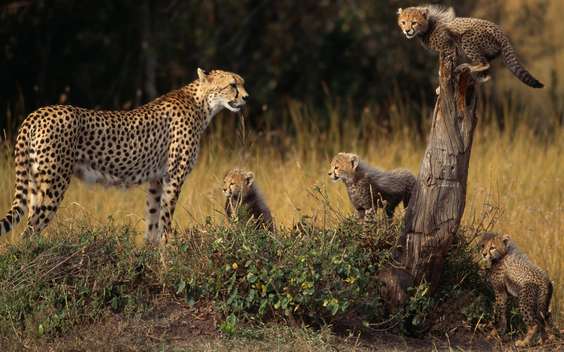 Cheetah Full HD Wallpaper And Background Image