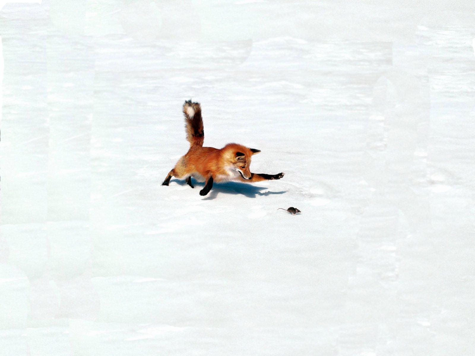 Animal - Fox  Animal Snow Wildlife Mouse Hunting Wallpaper