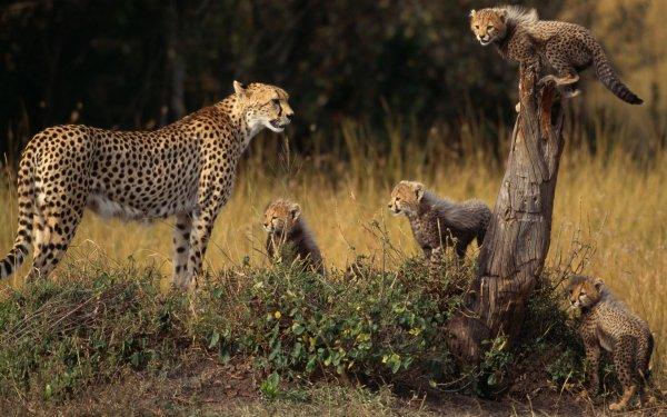 Animal Cheetah Cats HD Wallpaper | Background Image