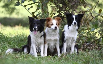 Animal - Border Collie Wallpapers and Backgrounds ID : 323369