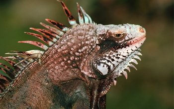 Animal - Iguana Wallpapers and Backgrounds ID : 323708