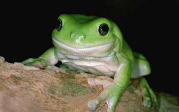Animal - Frog Wallpapers and Backgrounds ID : 323712