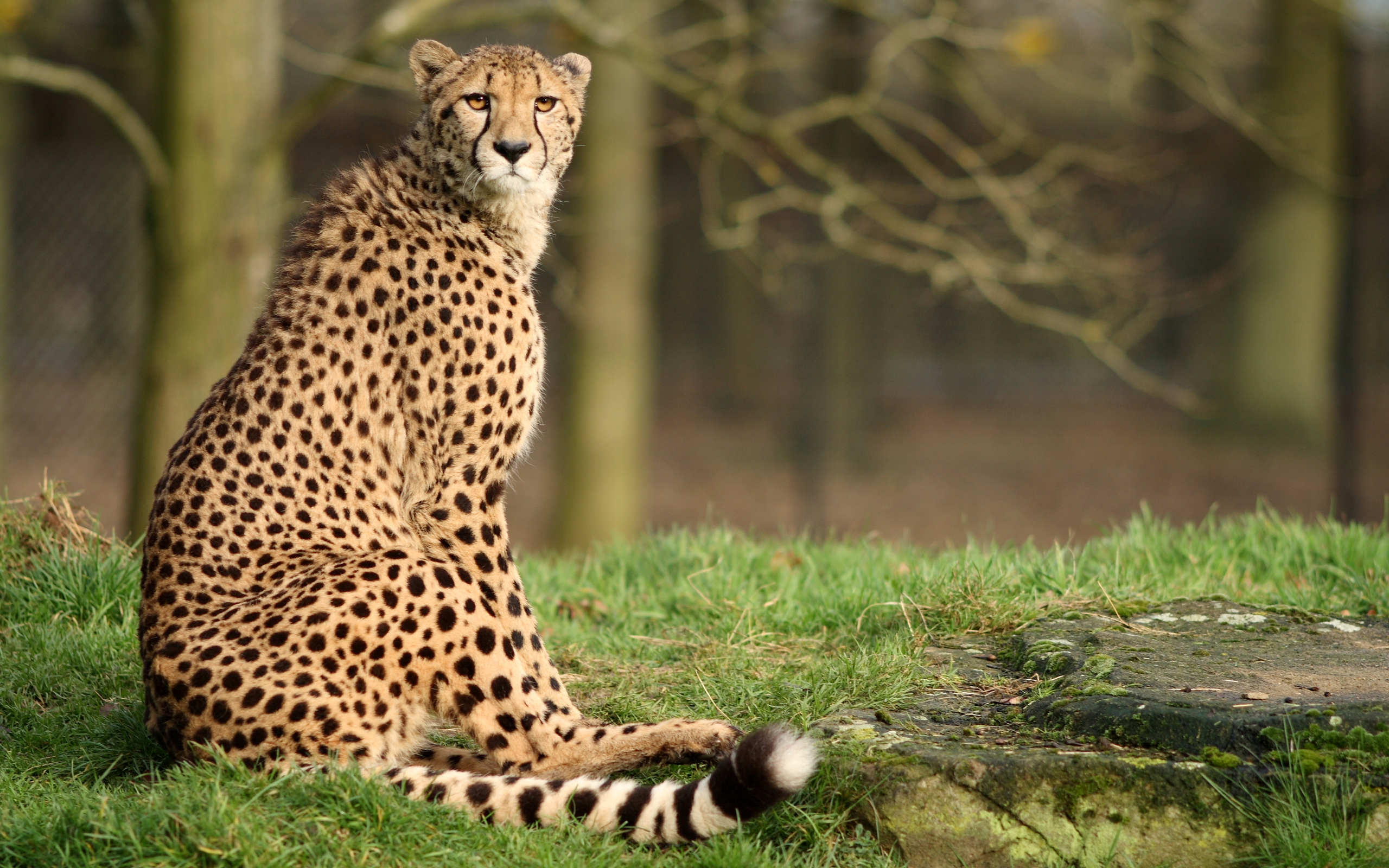 Cheetah Full Hd Wallpaper And Background 2560x1600 Id